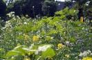 Blühwiese der Naturheilpraxis Tapken_10