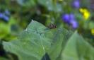 Blühwiese der Naturheilpraxis Tapken_13