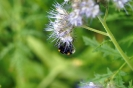 Blühwiese der Naturheilpraxis Tapken_4