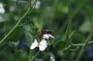 Blühwiese der Naturheilpraxis Tapken_5